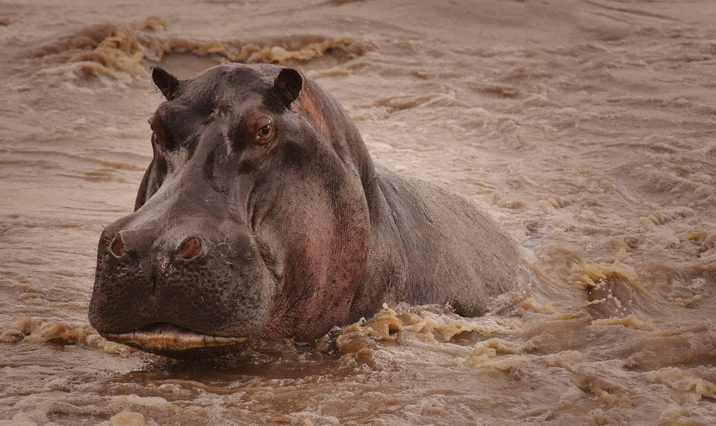 hippo in the wild serengeti of africa, spotted on small group tour safari